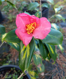 Camellia japonica 'Taiyo' at Camellia Forest Nursery