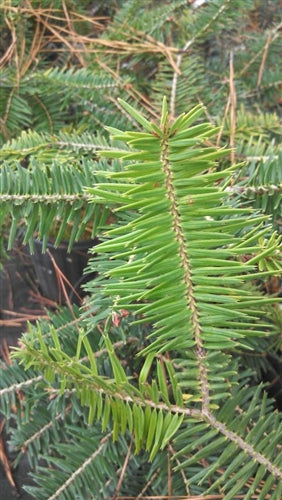 Abies firma, Japanese Fir