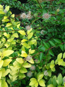 Adina rubella, Chinese Buttonbush