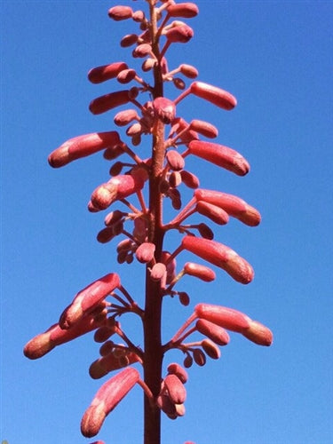 Aesculus x splendens at Camellia Forest Nursery
