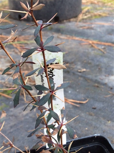Berberis wilsoniae at Camellia Forest Nursery