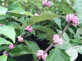 Callicarpa americana 'Welch's Pink' at Camellia Forest Nursery