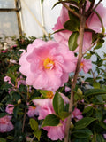 Camellia x 'Winter's Beauty Chartreuse'