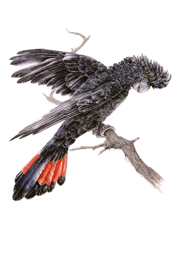 Calyptorhynchus banksii, Red-Tailed Black Cockatoo