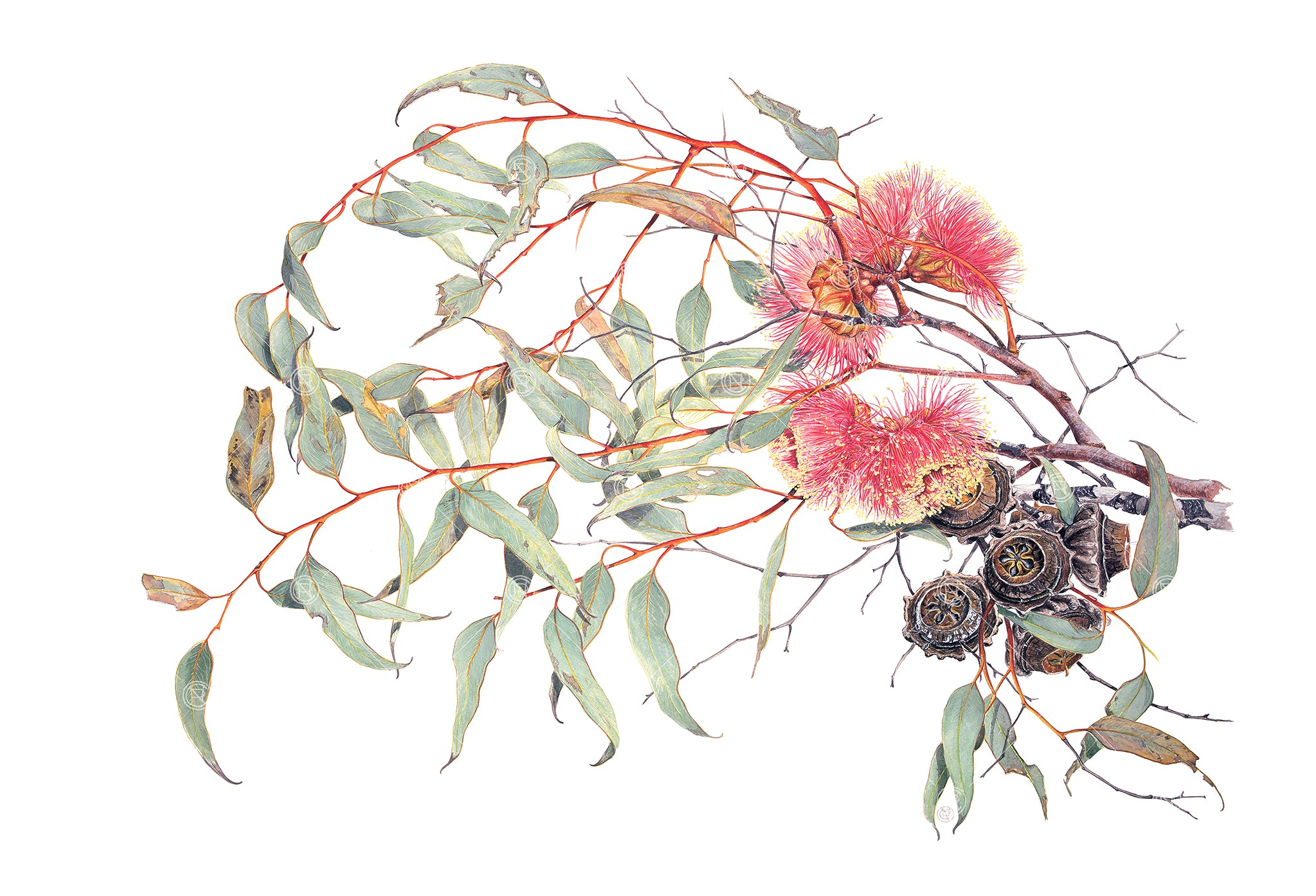 Eucalyptus youngiana, Large-Fruited Mallee