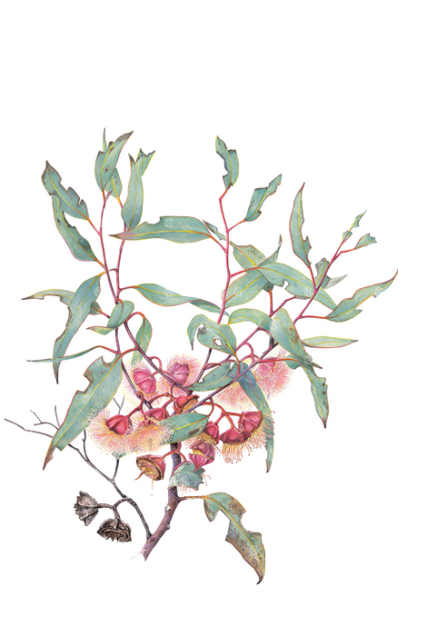 Eucalyptus pachyphylla, Thick-leaved mallee