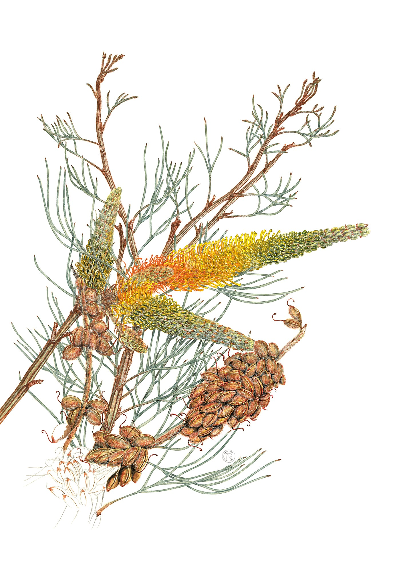 Grevillea eriostachya, Yellow Flame