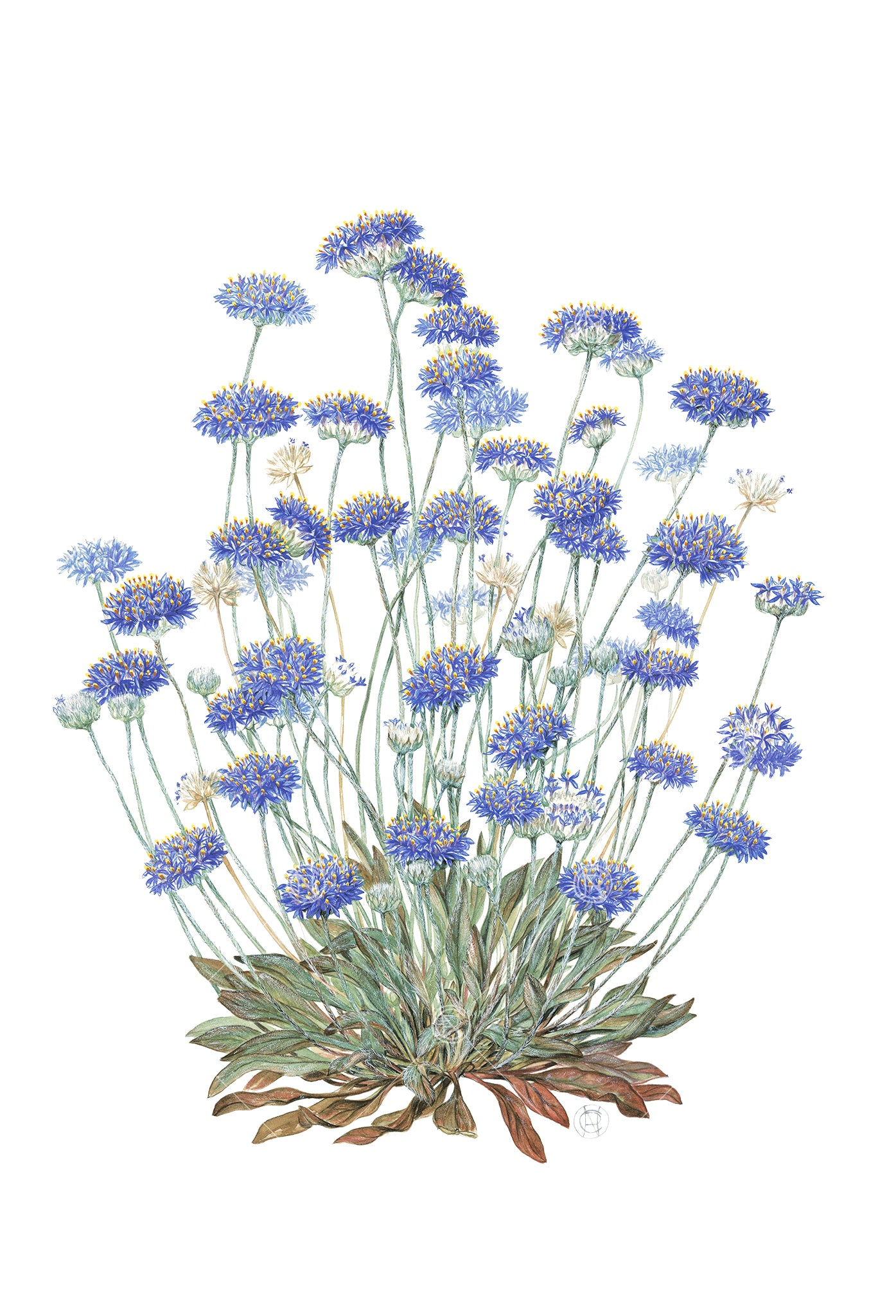 Brunonia australis, Native Cornflower