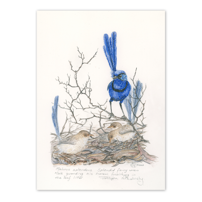 Splendid fairywren family