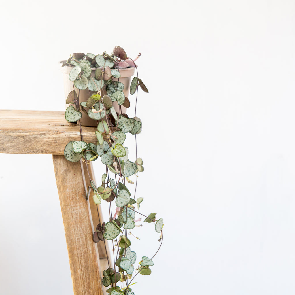 Large String of Hearts (ceropegia)