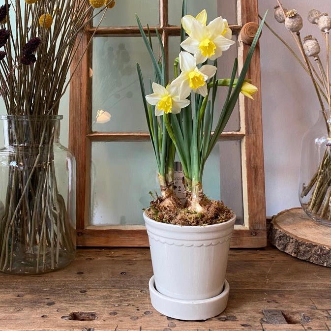 Daffodils in ceramic pot with saucer