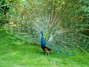 Prideful Peacock Showing His True Colors