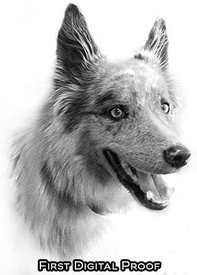 Dog portrait drawing -