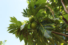 Breadfruit - Photo by Dawn Shipley