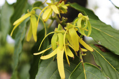 Ylang ylang in Tahiti - Photo by Dawn Shipley