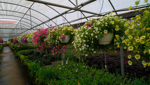 hanging baskets inside a hoop greenhouse