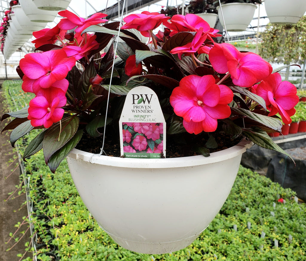 "11"" New Guinea Impatiens Hanging Basket - Infinity Blushing Lilac"