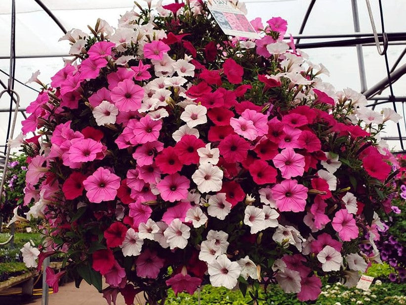 "12"" PW Hanging Basket - Above and Beyond"
