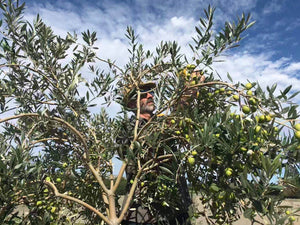 Man harvesting olives up in tree