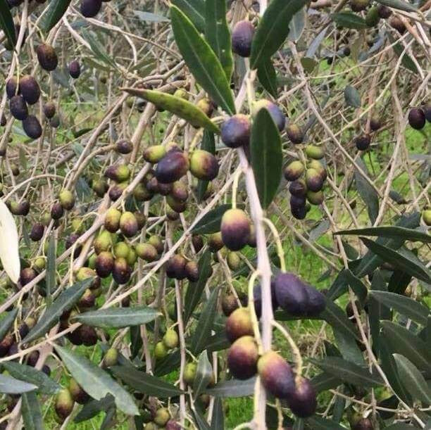 Close up of olives on tree