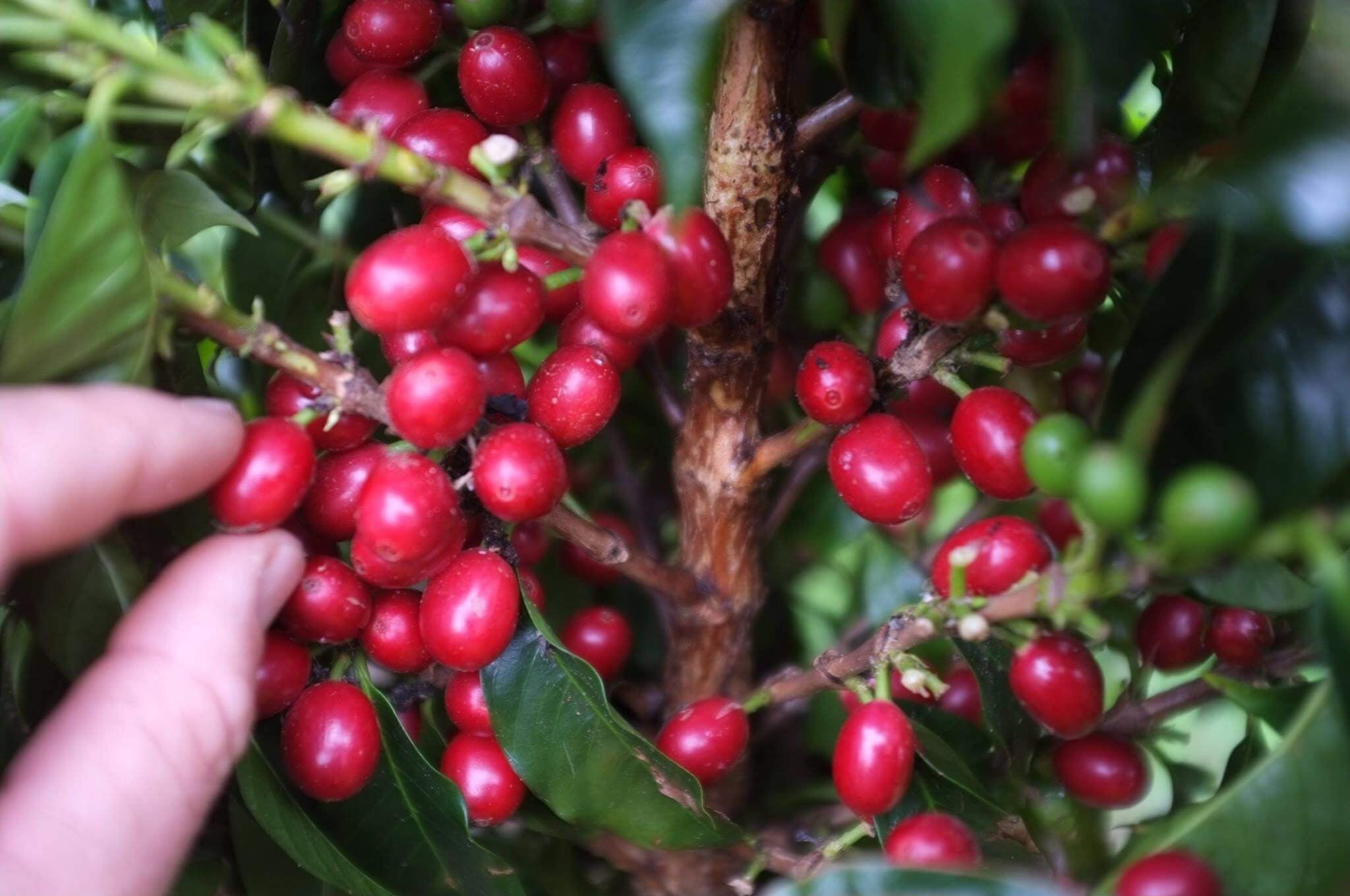 NZ Grown Coffee