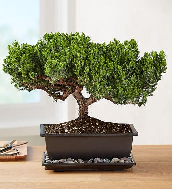 Gift - Graceful - Juniper Bonsai