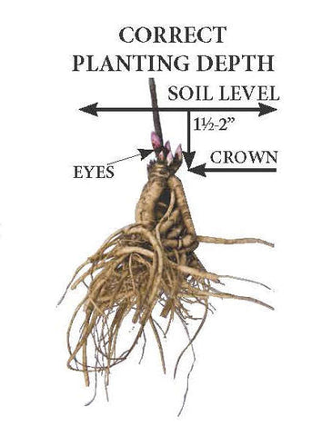 How to plant a peony root