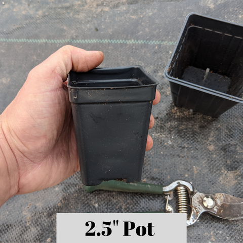 2.5 inch pot size. Potted plant in 2.5 inch square pot.