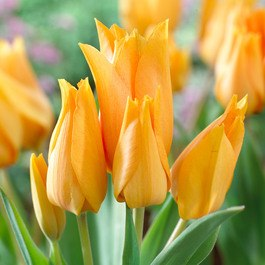 Tulip, Botanical 'Praestans Shogun' 10 Bulbs