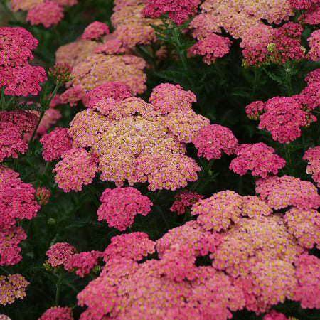 Achillea 'Sassy Summer Taffy'