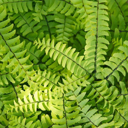 Adiantum pedatum close-up of the frilly, light green fronds. Photo courtesy of Go Botany.