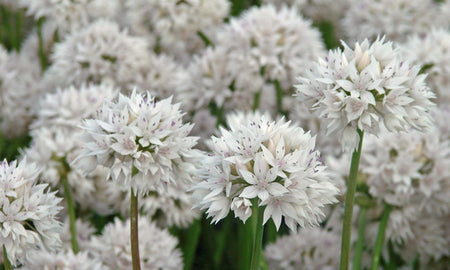 Allium, 'Graceful Beauty' 5 Bulbs