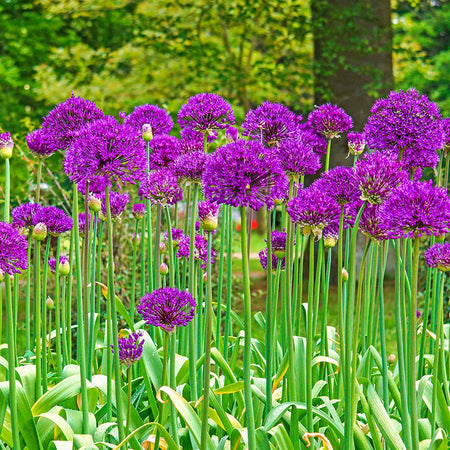 Allium 'Purple Sensation' 5 Bulbs
