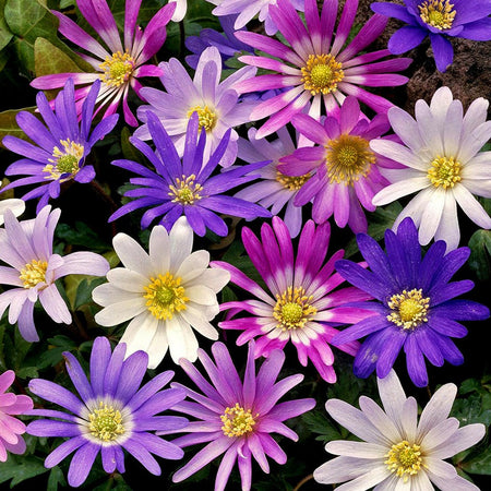 Anemone 'Blanda Mix' 10 Bulbs
