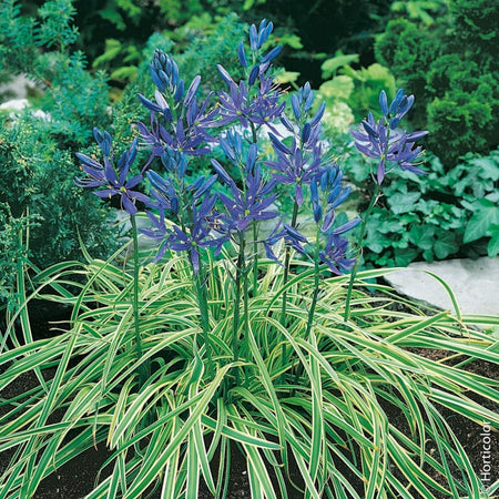 Camassia 'Blue Melody' 5 Bulbs