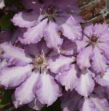 Clematis 'Joan Picton'