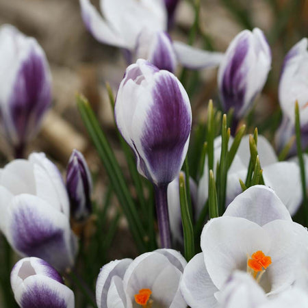 Crocus, Snow 'Lady Killer' 5 Bulbs