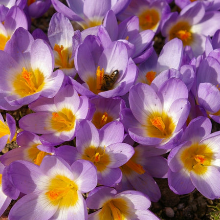 Crocus, Snow 'Tricolor' 10 Bulbs
