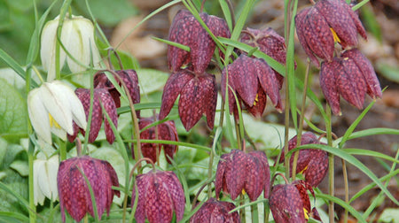 Fritilliaria 'Meleagris alba' 10 bulbs