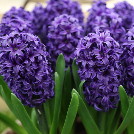 Hyacinth 'Aida' 5 Bulbs