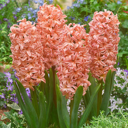 Hyacinth 'Gipsy Queen' 5 Bulbs