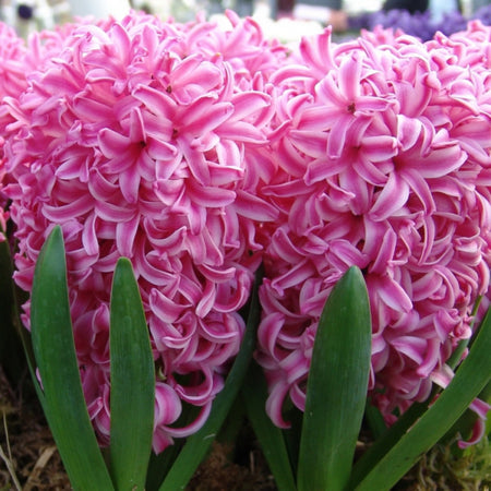 Hyacinth 'Pink Pearl' 5 Bulbs