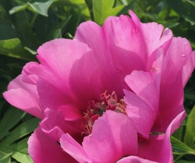 Paeonia Itoh hybrid 'Little Darlin'