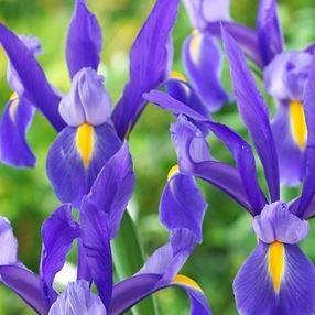 Iris Dutch 'Sapphire Beauty' Jumbo Pack 20 bulbs