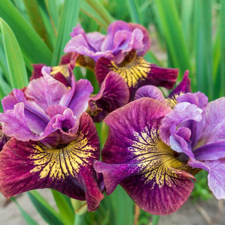 Iris Siberica 'Miss Apple'
