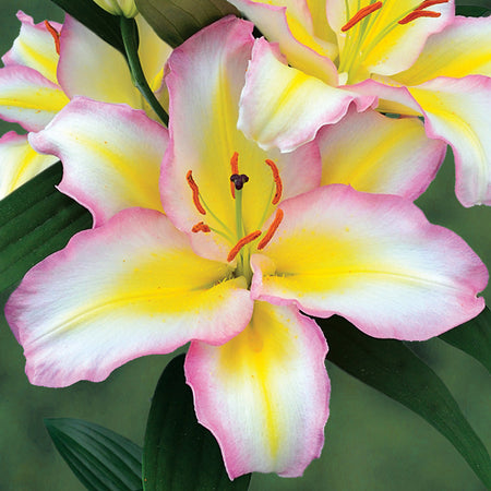 Lilium Oriental 'Captain Tricolore' (3 Bulbs)