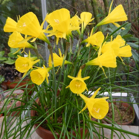 Narcissus, 'Golden Bells' 10 Bulbs