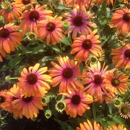 Echinacea Butterfly 'Rainbow Marcella'