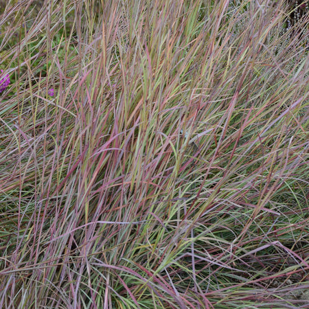 Schizachyrium scoparium 'Twilight Zone'