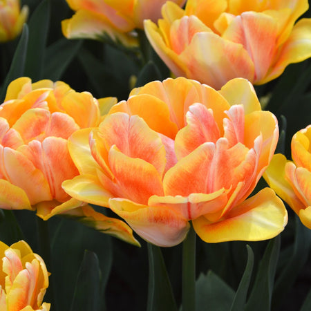 Tulip, Early double 'Foxy Foxtrot' 10 Bulbs